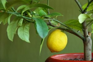 1007299-lemon-on-lemon-tree